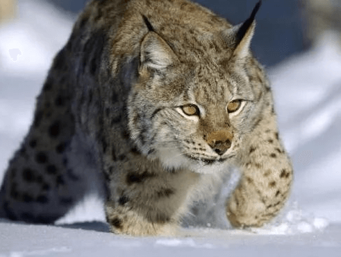 玉树州可可西里野生动物猞猁
